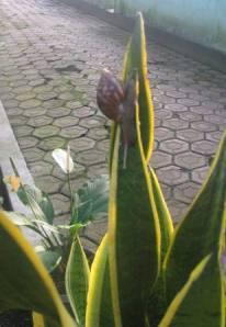 Bekicot naik daun